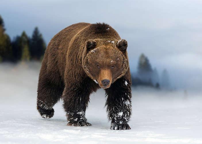 Macht Stress, ein wilder Bär.